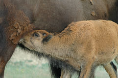 Feeding Bison Calf Stock Images