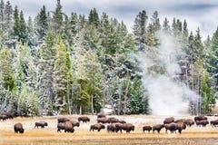 Feeding Bison in Yellowstone's Geyser Basin Royalty Free Stock Photo