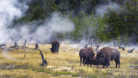 Feeding Bison in Yellowstone's Geyser Basin Royalty Free Stock Photo