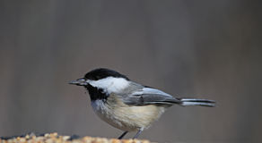 Feeding Black-capped Chickadee Royalty Free Stock Image