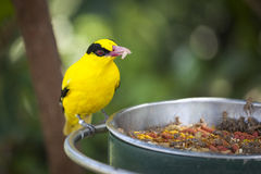 Feeding Black-naped Oriole of Eastern Asia with Worm in Beak. Feeding Black-naped Oriole of Eastern Asia with a Worm in Beak Royalty Free Stock Photos