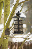 Feeding a Blackbird in the Winter Royalty Free Stock Photography