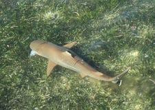 Feeding blacktip reef shark. Blacktip reef shark, Carcharhinus melanopterus swimming with fish in mouth above sea grass in shallow sea in Raja Ampat, Papua Barat royalty free stock photos