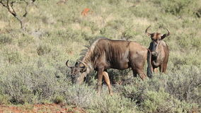 Feeding blue wildebeest stock footage