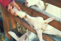 Feeding from a bottle of milk small goats stock photos