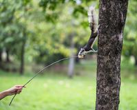 Feeding bread to wild squirrel in park. Feeding bread by small twig while cute squirrel stand on tree and eat it with greenery grass bokeh background and copy Stock Images