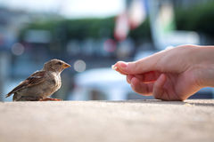 Feeding bread to the young Sparrow passer domesticus stock photo