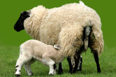 Feeding At The Breast. A lamb breast feeding from its mother in a field stock photo