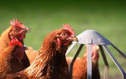 Feeding Brown Hens Stock Photos