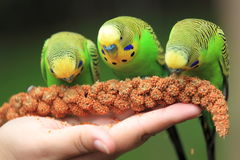 Feeding on budgerigars Stock Photos