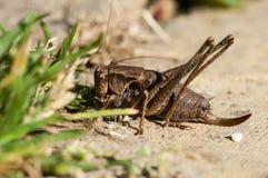 Feeding bush cricket Stock Images