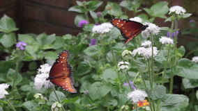 Feeding Butterflies Royalty Free Stock Photo
