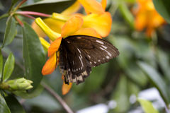 Feeding Butterfly Stock Photos
