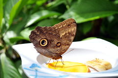 Feeding butterfly. Butterfly with eye on wings feeding on banan and mango Royalty Free Stock Photo