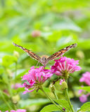 Feeding Butterfly Royalty Free Stock Photography