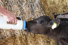 Black angus calf feeding from a bottle Stock Images