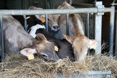 Feeding calves. Row of feeding dairy calves  in a stable on a farm Stock Photo