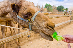 Feeding a camel Stock Photos