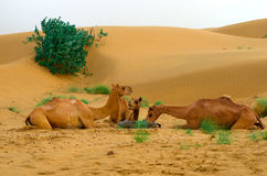 Feeding camels  in a desert Stock Photography