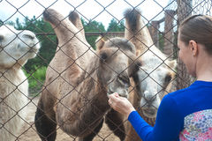 Feeding camels Stock Photography