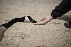 Feeding a Canadian goose. Royalty Free Stock Photography