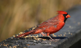 Feeding Cardinal Stock Photos