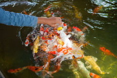 Feeding Carp fish Stock Images