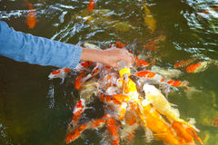 Feeding Carp fish Royalty Free Stock Photography