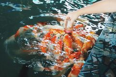 Feeding Carp fish Royalty Free Stock Images