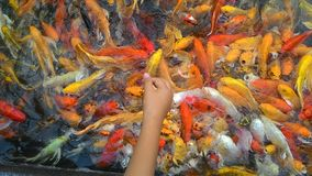 Feeding Carp fish Koi fish. Young boy hand feeding Carp fish Koi fish Royalty Free Stock Photos