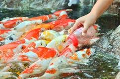 Feeding carp by hand Stock Photo
