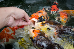 Feeding carp by hand Royalty Free Stock Images