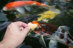 Feeding carp by hand Stock Image