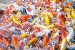 Feeding carp/koi fish in pond.Koi or more specifically nishikigo. I are colored varieties of Amur carp Cyprinus rubrofuscus Royalty Free Stock Image