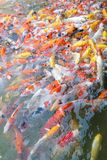Feeding carp/koi fish in pond.Koi or more specifically nishikigo. I are colored varieties of Amur carp Cyprinus rubrofuscus Royalty Free Stock Images