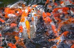 Feeding carp / koi fish in pond / pool Stock Photos