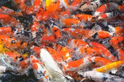 Feeding carp / koi fish in pond / pool Stock Images