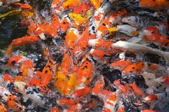 Feeding carp / koi fish in pond / pool Stock Photography