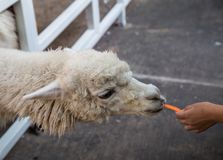 Alpaca eating carrot royalty free stock image
