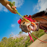 Feeding carrot to horse Stock Image