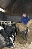 Feeding cattle Stock Photos