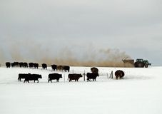 Feeding the Cattle. This image of the cattle following the tracker dispensing feed was taken in western MT Stock Photos