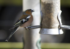 Feeding chaffinch Stock Photography