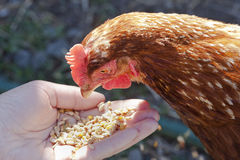Feeding the chicken Royalty Free Stock Images