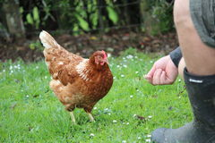 Feeding Chicken. Lone chicken getting fed corn by farmer Royalty Free Stock Image
