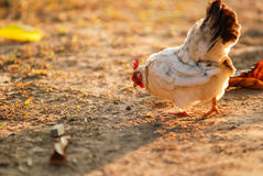 Feeding chicken in country area Stock Image