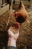Feeding chicken from hand Stock Photography