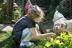 Feeding the chickens Royalty Free Stock Photography