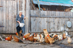 Feeding chickens on a farm Royalty Free Stock Image