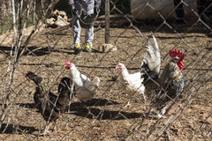 Feeding chickens Stock Images